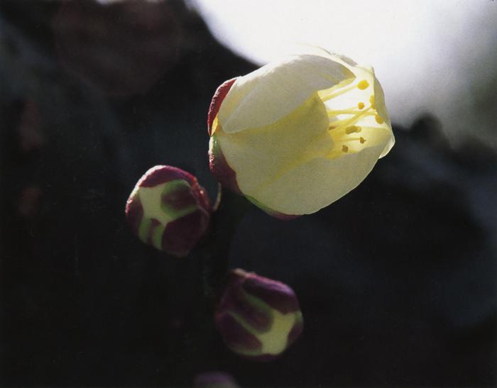 春<br>花ひらく春。乏しい色の季節から、野山も一挙に衣替え。春の陽気に誘われて、自然の中へ歩み入る。<br>綾部山梅林(兵庫県御津町) 3月上旬晴