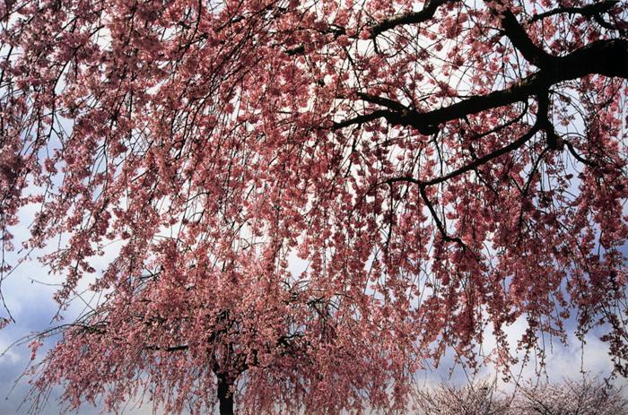 枝垂れる<br>桜之宮公園(大阪市)・4月上?中旬薄曇