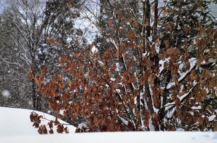 雪中秋色<br>蔵王山麓(山形県)・2月上旬薄日