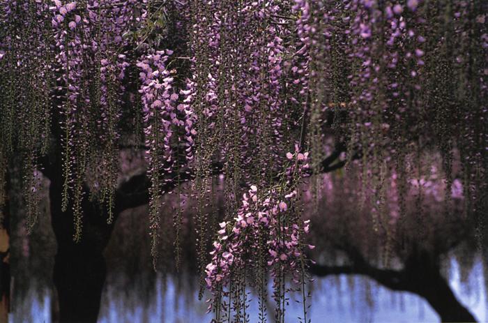 咲き初め<br>藤公園(岡山県和気)・5月中旬晴