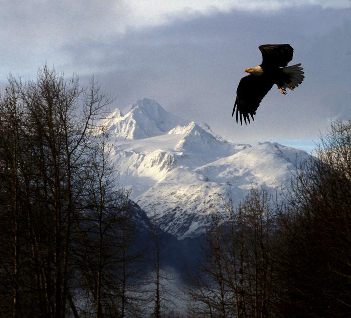 白頭鷲飛び立つ