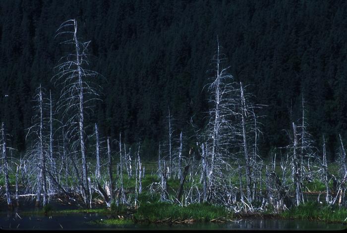 アラスカの林