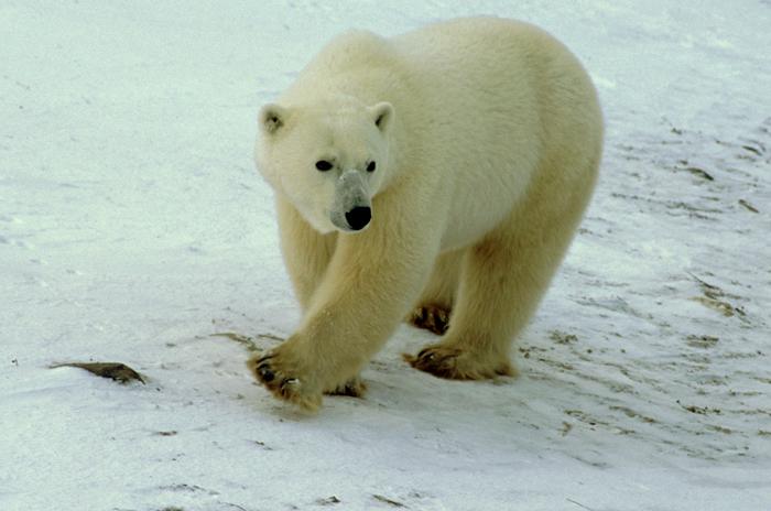 北極熊の散歩