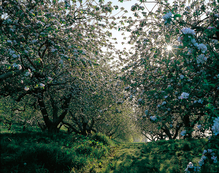 ランドさんのリンゴ園に、また白い輝きの季節がめぐって来た