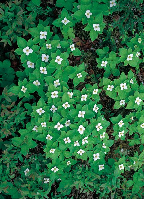 粉雪が舞い落ちるように森の中に花ひらくゴゼンタチバナ