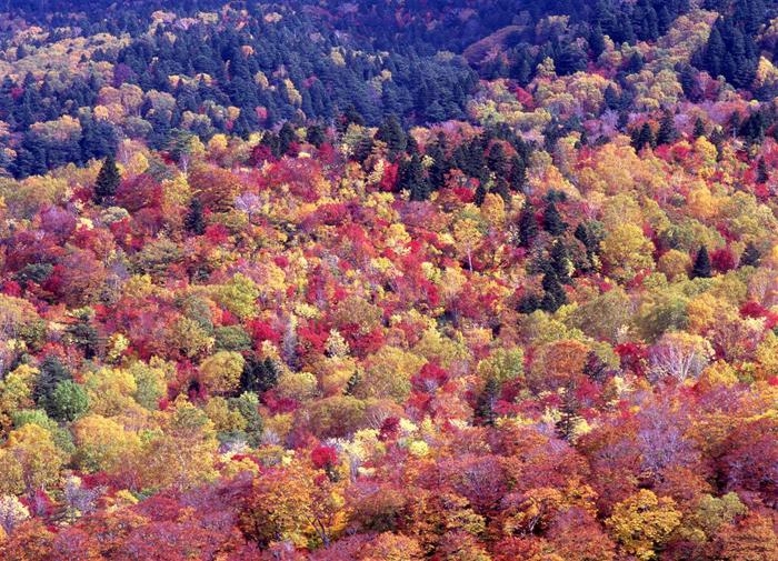 白布峠<br>(福島県北塩原村桧原?山形県米沢市白布)<br>(標高 1450メートル)<br>白布峠の下は錦平と呼ぶ紅葉の名所である。