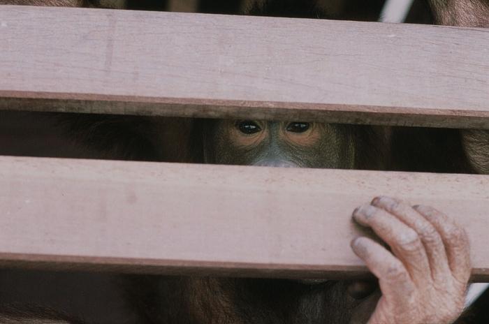 木箱からの視線<br>(オランウータン保護施設にて)