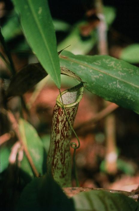 食中植物<br>(森の中の風景)
