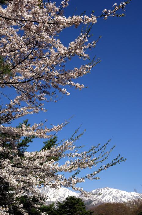 桜咲く白馬山麓