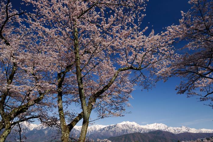 大町桜と残雪の北アルプス展望