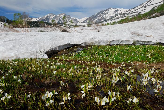 ミズバショウ咲く栂池より白馬三山