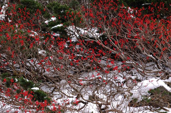 冬の訪れ ?新雪のナナカマド