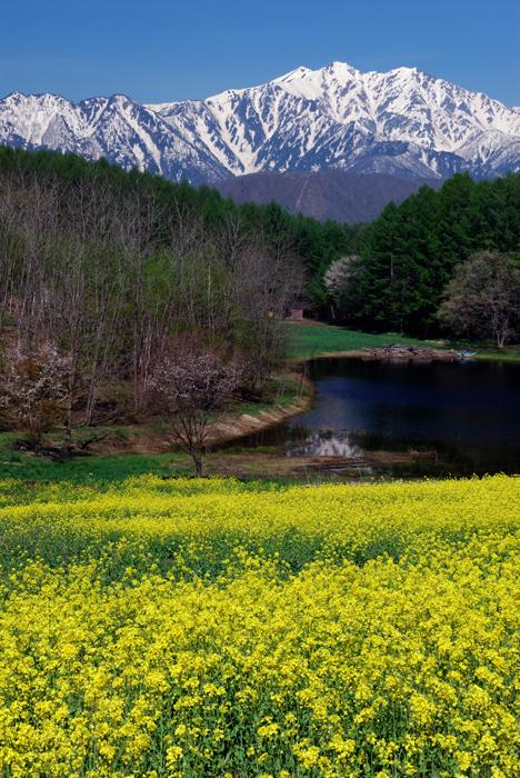 残雪の爺ヶ岳と菜の花畑