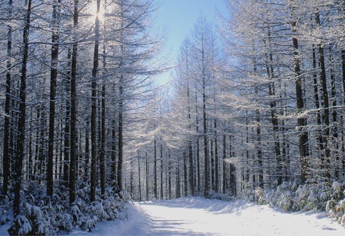 雪の落葉松林