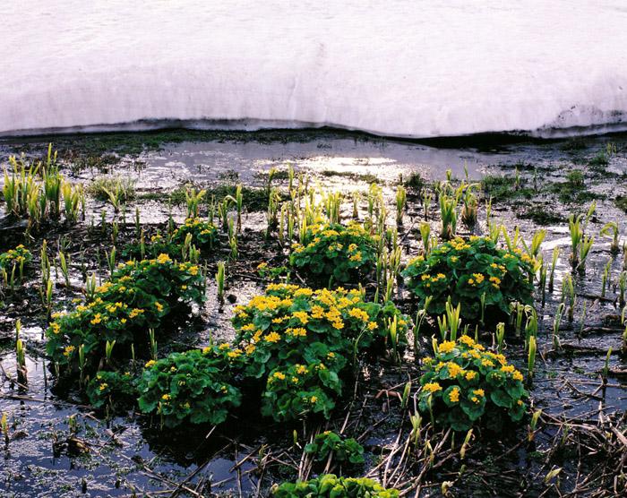 大雪山・旭岳温泉の湿原に咲くエゾノリュウキンカの群落です。雪解けが進んだところから、お花畑に置き換わっていく感じです。