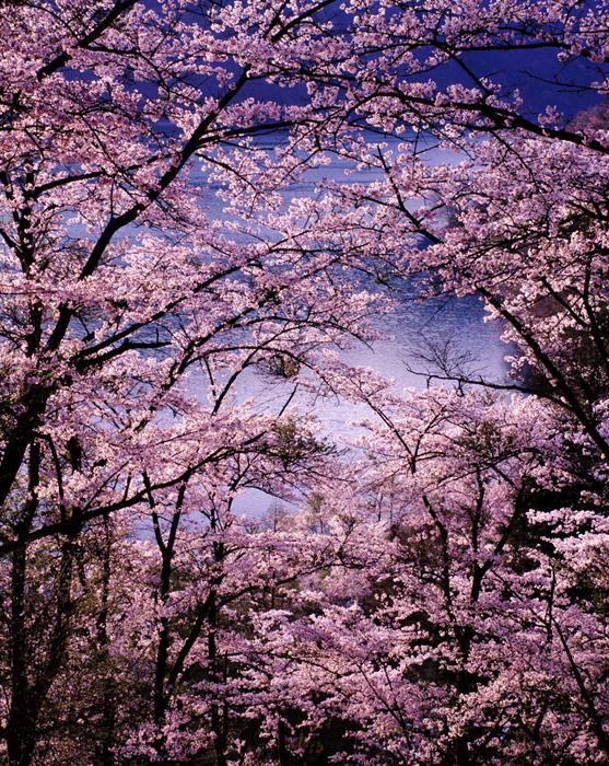 東京都・奥多摩湖のソメイヨシノは、毎年安定して素晴らしい桜並木を見せてくれます。逆光で朝日が差し込んでいます。