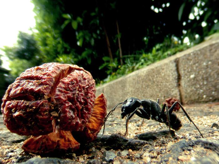ヒノキの実をみつけたクロオオアリ