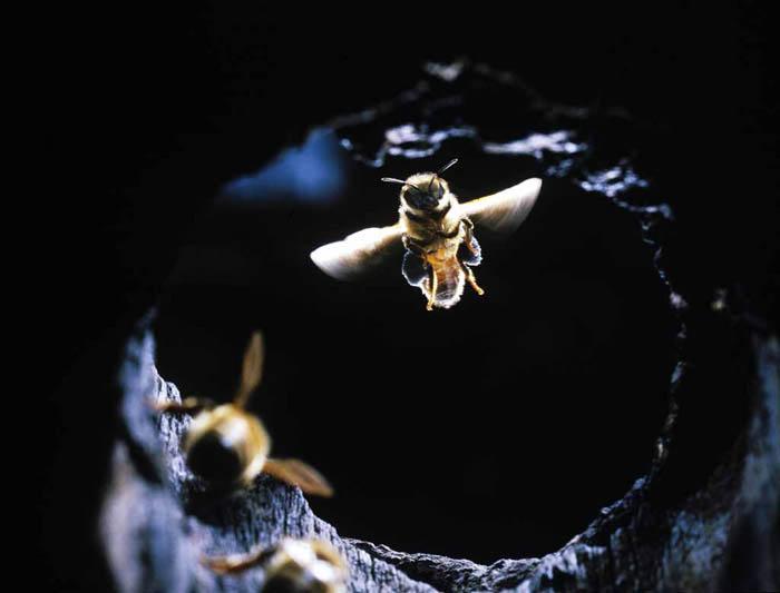 巣に帰ってきたニホンミツバチ