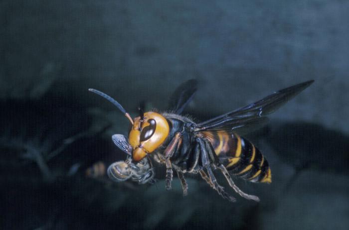 ミツバチを捕らえて飛ぶオオスズメバチ