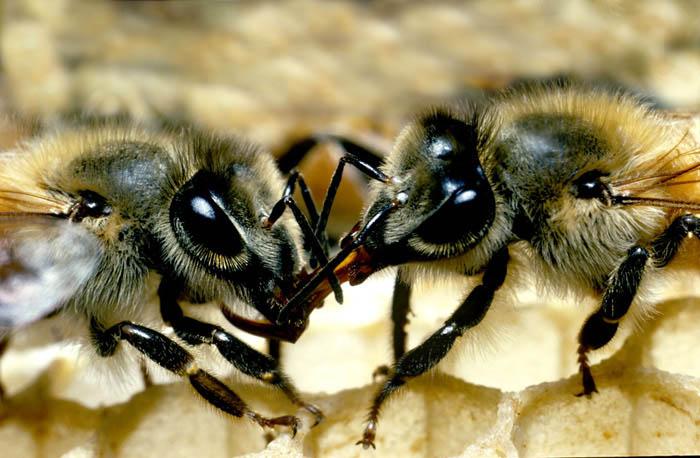 巣の中、餌を分け合うヨウシュミツバチ