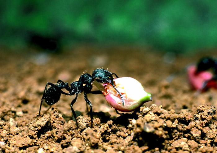 草の実を運ぶクロナガアリ