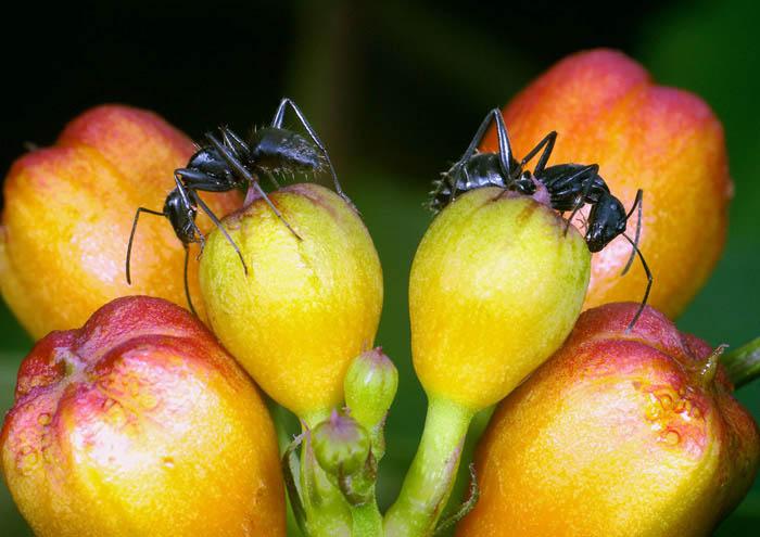 花のつぼみの上のクロオオアリ