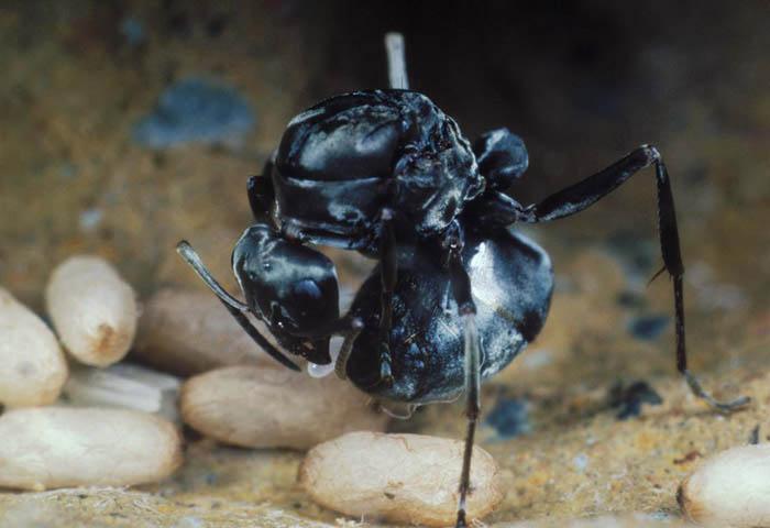 巣の中で卵を産むクロヤマアリ
