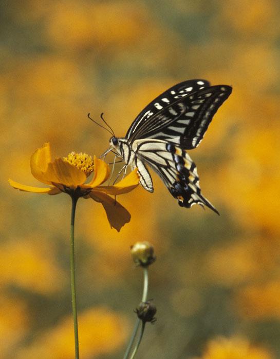 吸蜜するアゲハチョウ