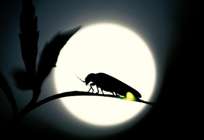 月を背に光るゲンジボタル