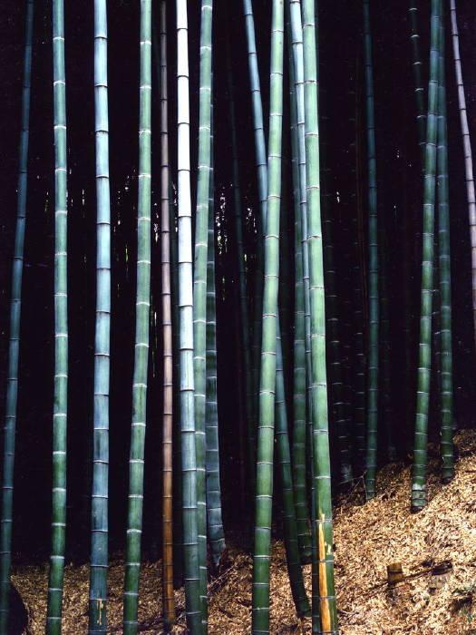 竹林の粧い