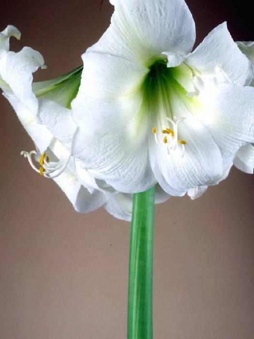 アマリリス花模様