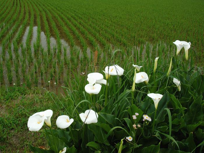 野辺に咲く (千葉県市原市万田野)