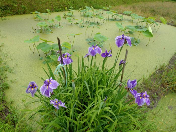 梅雨に咲く (千葉県市原市万田野)
