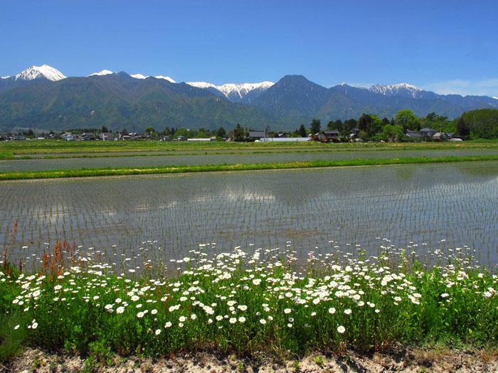 花が咲く♪里に咲くランランラン・・・<br>(長野県安曇野穂高)