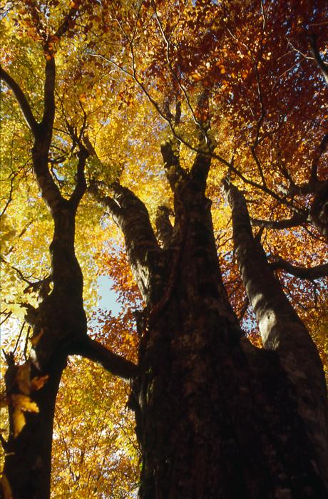 白神山地 ブナの大木